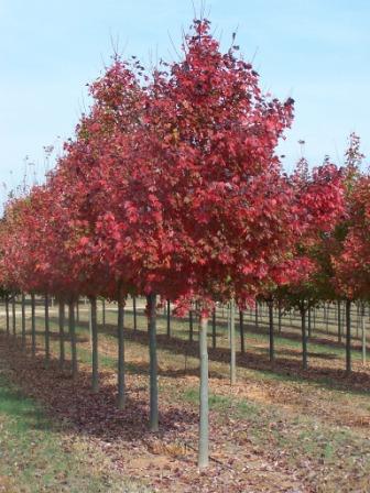 Geniş Yapraklı Ağa 231 Lar